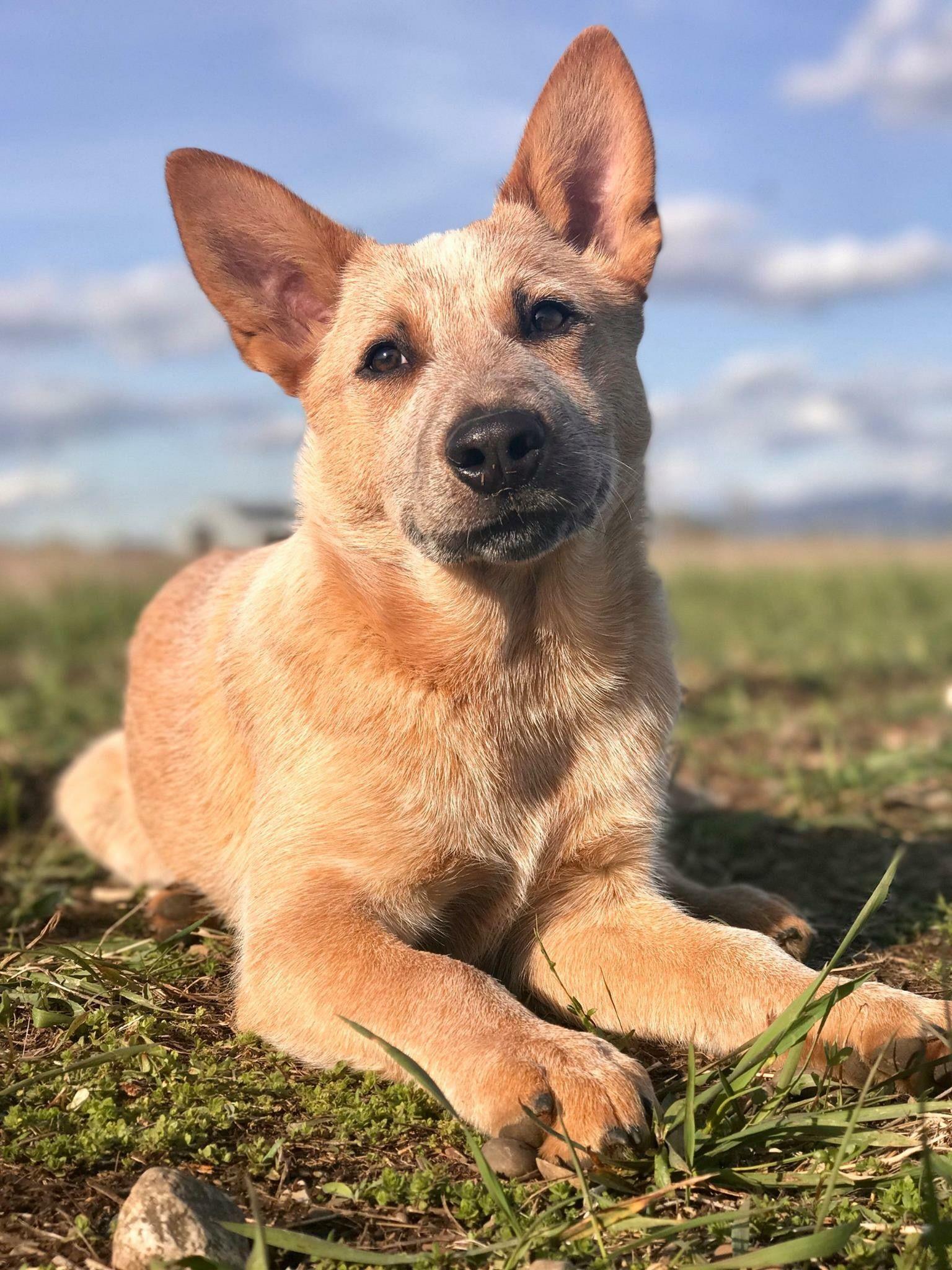 Heeler Puppies Austrailian Cattle Dog