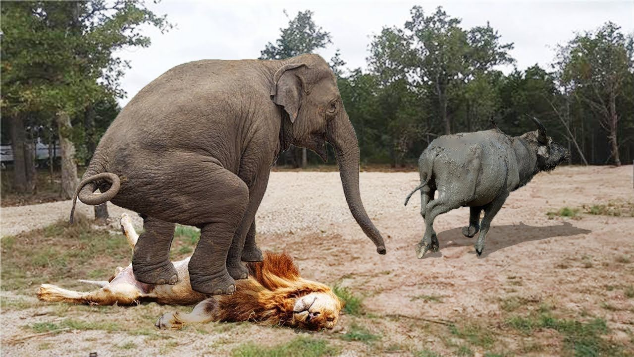 ELEPHANTS VS LION VS BUFFALO | Save Buffalo From Lion