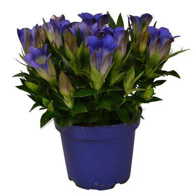 Gentiana 25 30 Cm Byliny Ogrodowe W Atrakcyjnej Cenie W Sklepach Leroy Merlin Plants 25th