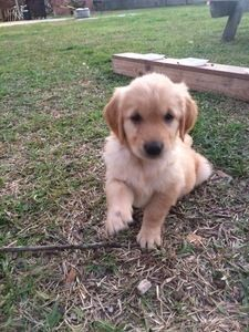 AKC Golden Retriever Puppies - The Advocate Classifieds