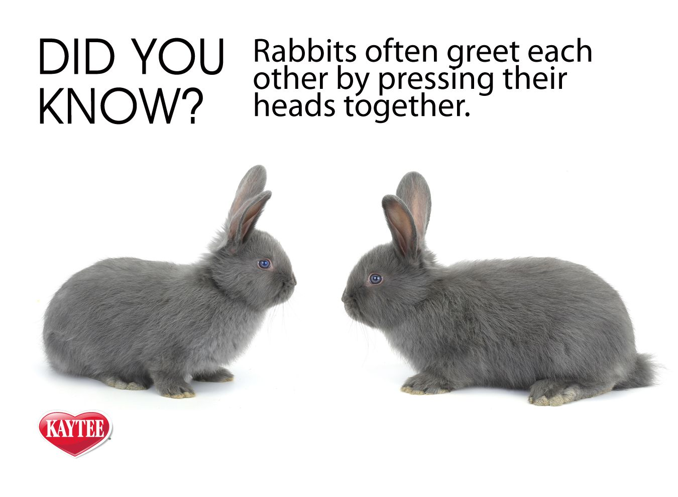 Fun Fact Rabbits Often Greet Each Other By Pressing Their Heads