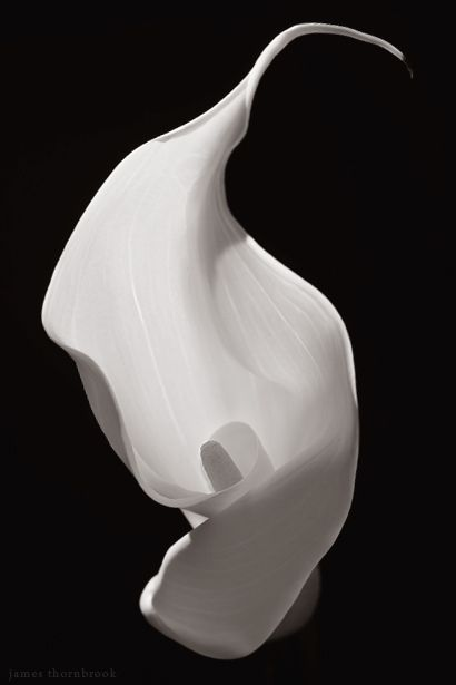 "Calla Lily - To the Romans, the calla lily was symbolic of lust and sexuality, whereas the flower resonated with the Greeks to mean ""magnificent beauty."" - Photo by James Thornbrook"