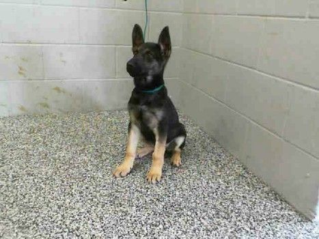 Adorable German Shepherd 3 Month Old Puppy At Calif Shelter Dog