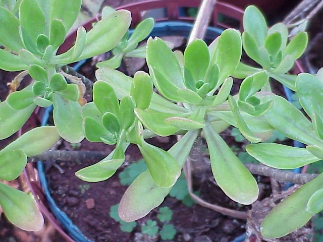 Beneficios Do Balsamo Plantas Medicinais Ervas Curativas Ervas