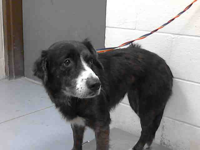 02 12 14 Simone Australian Shepherd Mix Adult Female Medium Montgomery County Animal Shelter Conroe T Beautiful Black Aaawe Doptables Anima