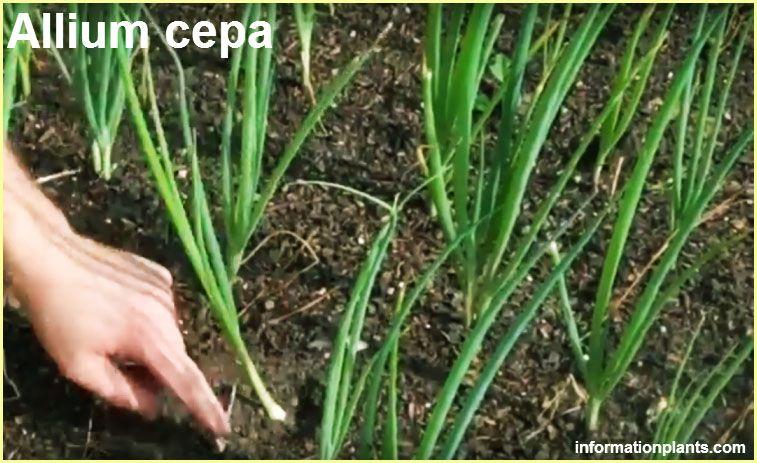 البصل الاخضر Allium Cepa الخضروات النبات معلومان عامه معلوماتية Herbs Plants Allium