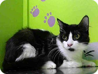 Houston, TX Domestic Shorthair. Meet ABBY, a cat for