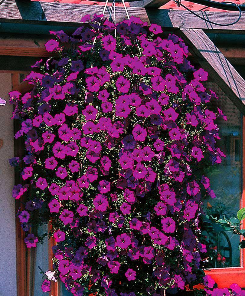 Haengepetunia Wave Fortunia Purple Fro Bakker Holland Petunias Zaden Bloemzaden