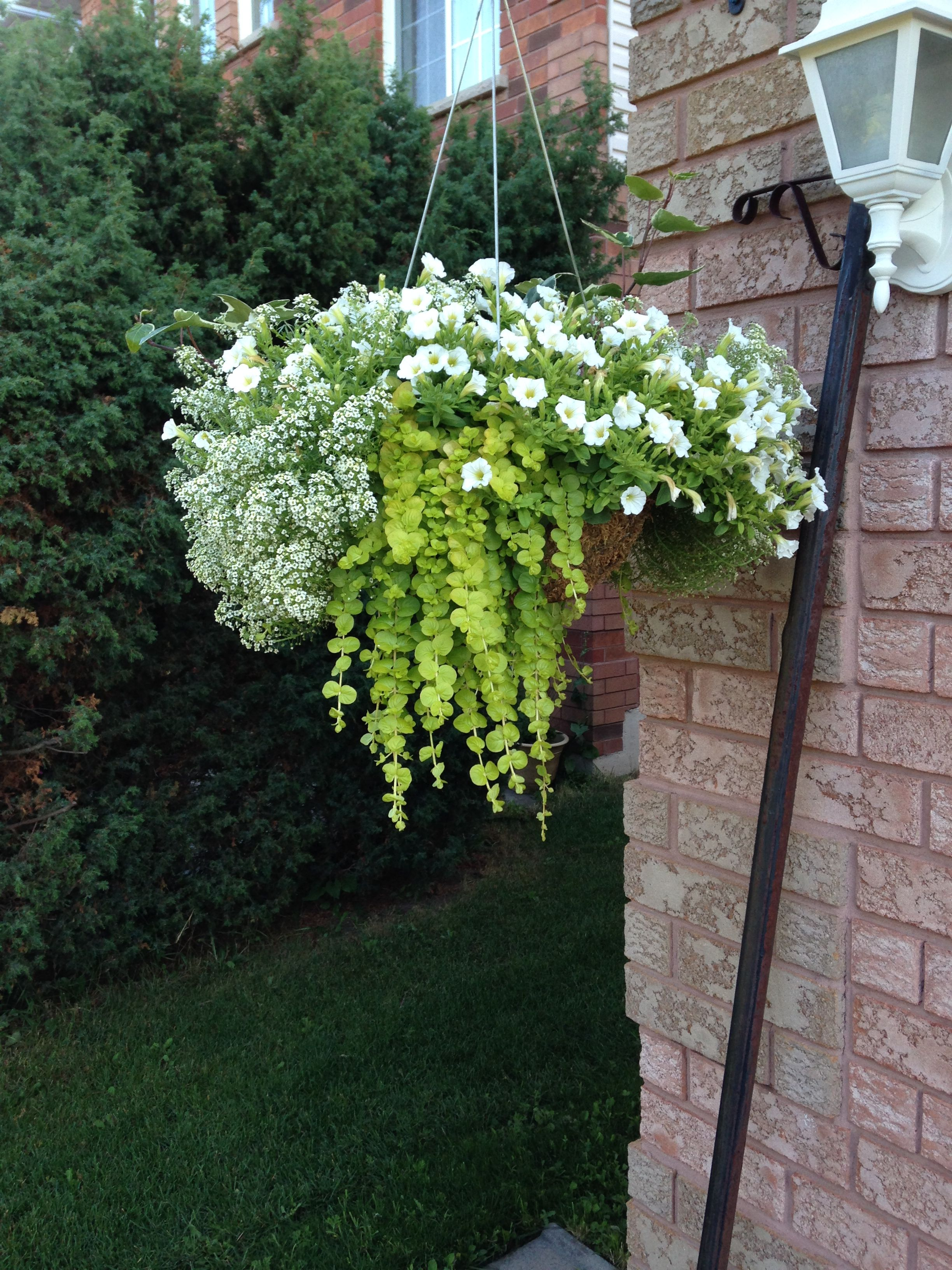 Outdoor flowers that like sun - White And Green Hanging Basket For The Full Sun Trailing Allysum Has An Amazing Fragrance
