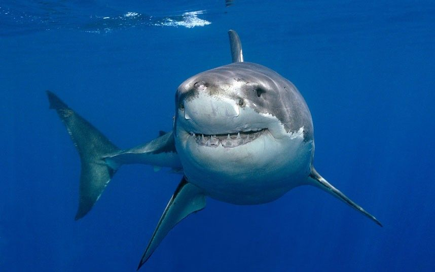 What a great smile! Great white #shark (Carcharodon carcharias) underwater from Mark Carwardine/Nature Picture Library/Rex Features