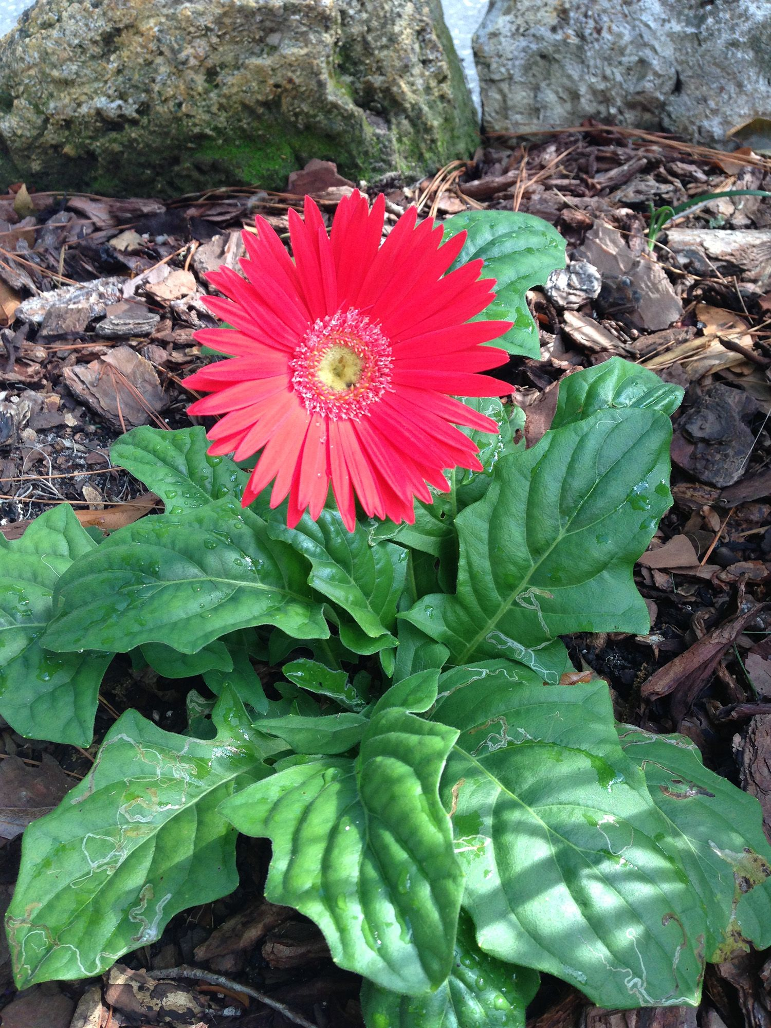 The Gerbera Daisy Is Known Mainly In The Us As A Potted Annual