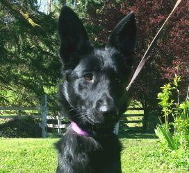 Adopt Mystic On German Shepherd Dogs Shepherd Dog Pets