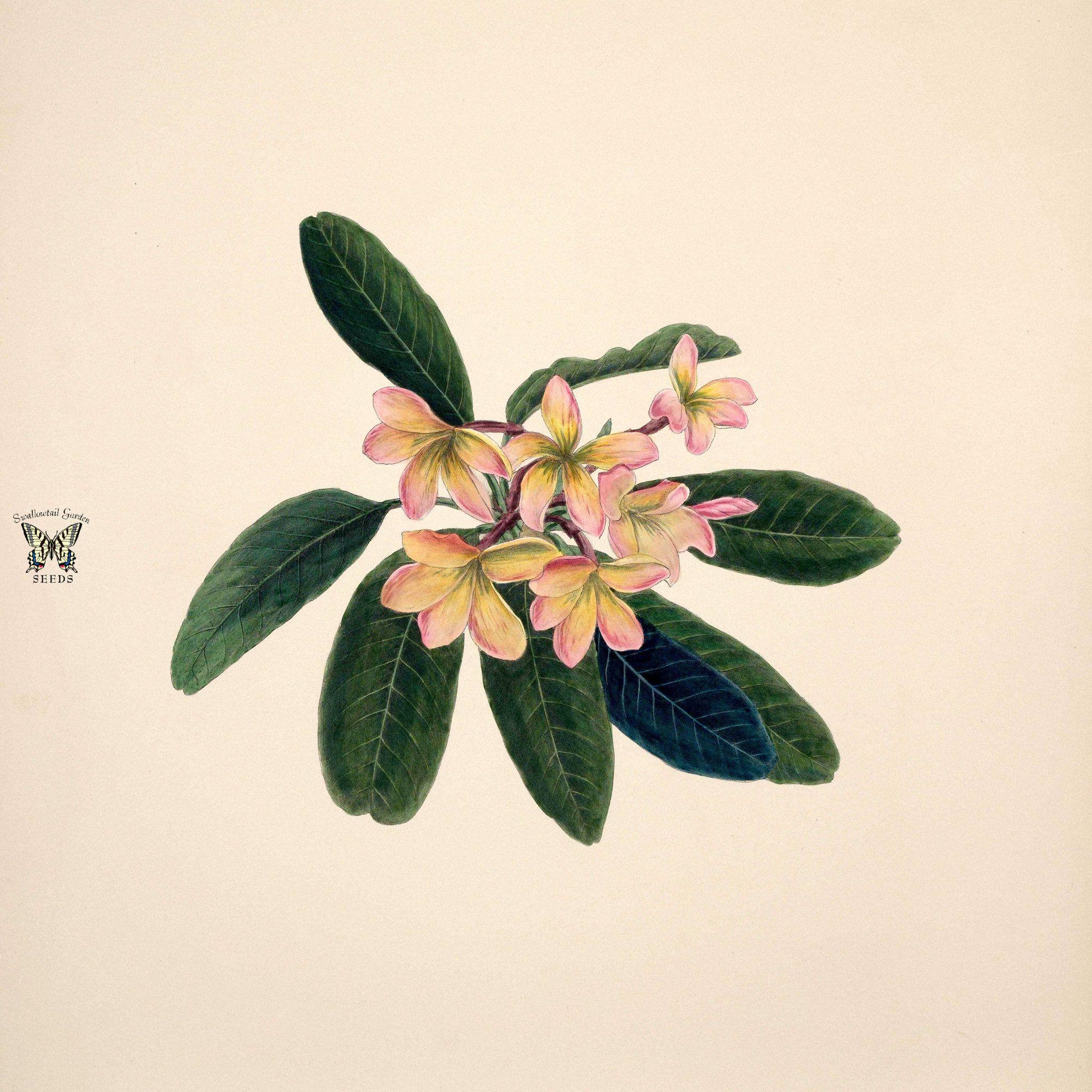 Frangipani West Indian Jasmine Plumeria Rubra Indian Flowers Jasmine Drawing Flower Illustration