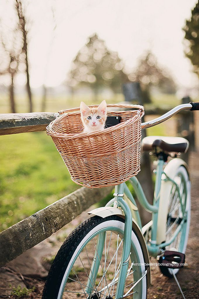 Twinkie Kittens Bicycle Cats