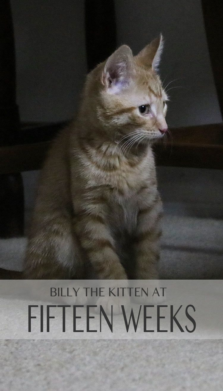 Find Out What Fifteen Week Old Kittens Eat Weigh And Like To Do Cat Site Kittens Fun Facts About Cats