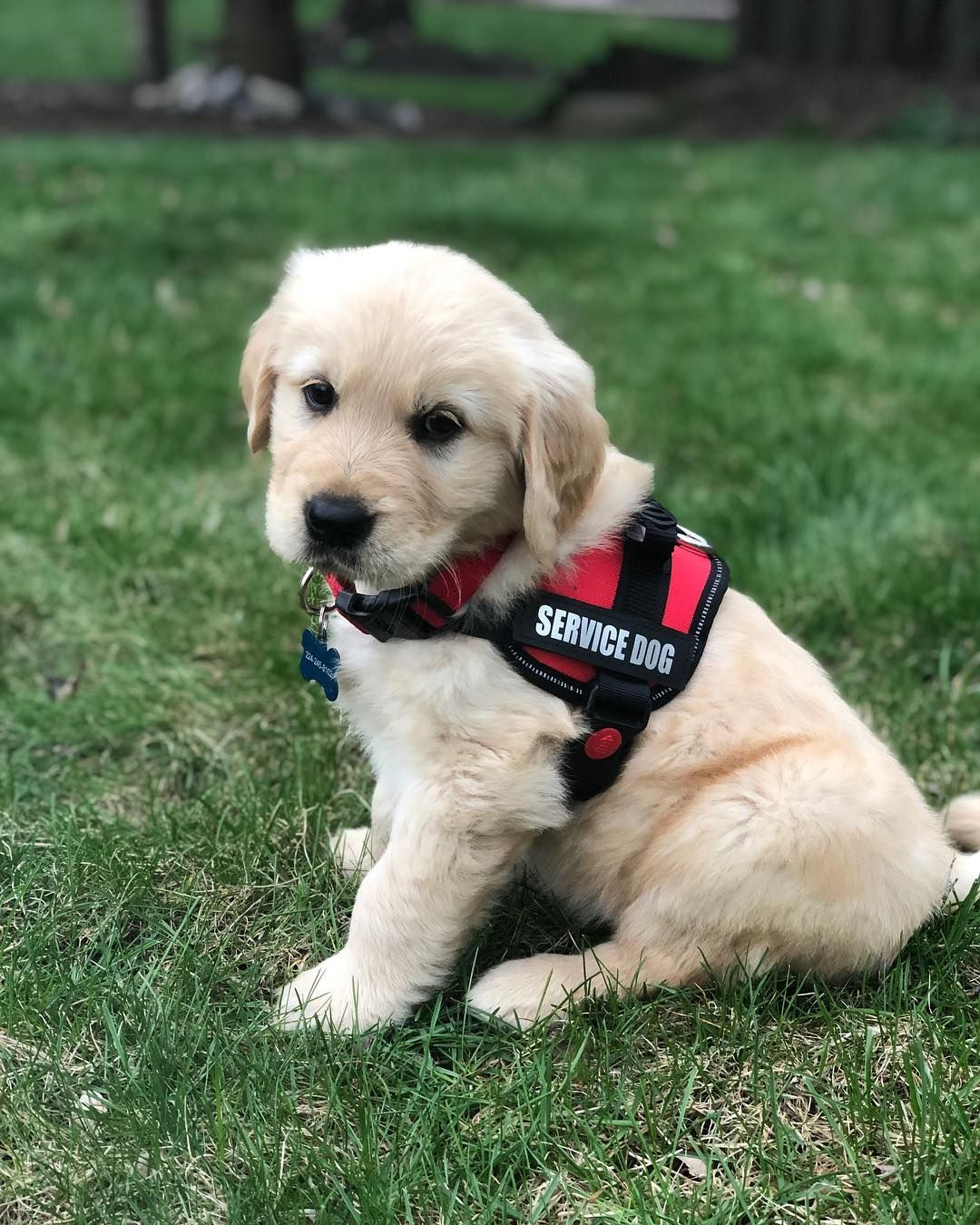 Being In Training Is Hard Work Goldenretrieverpuppy Puppies