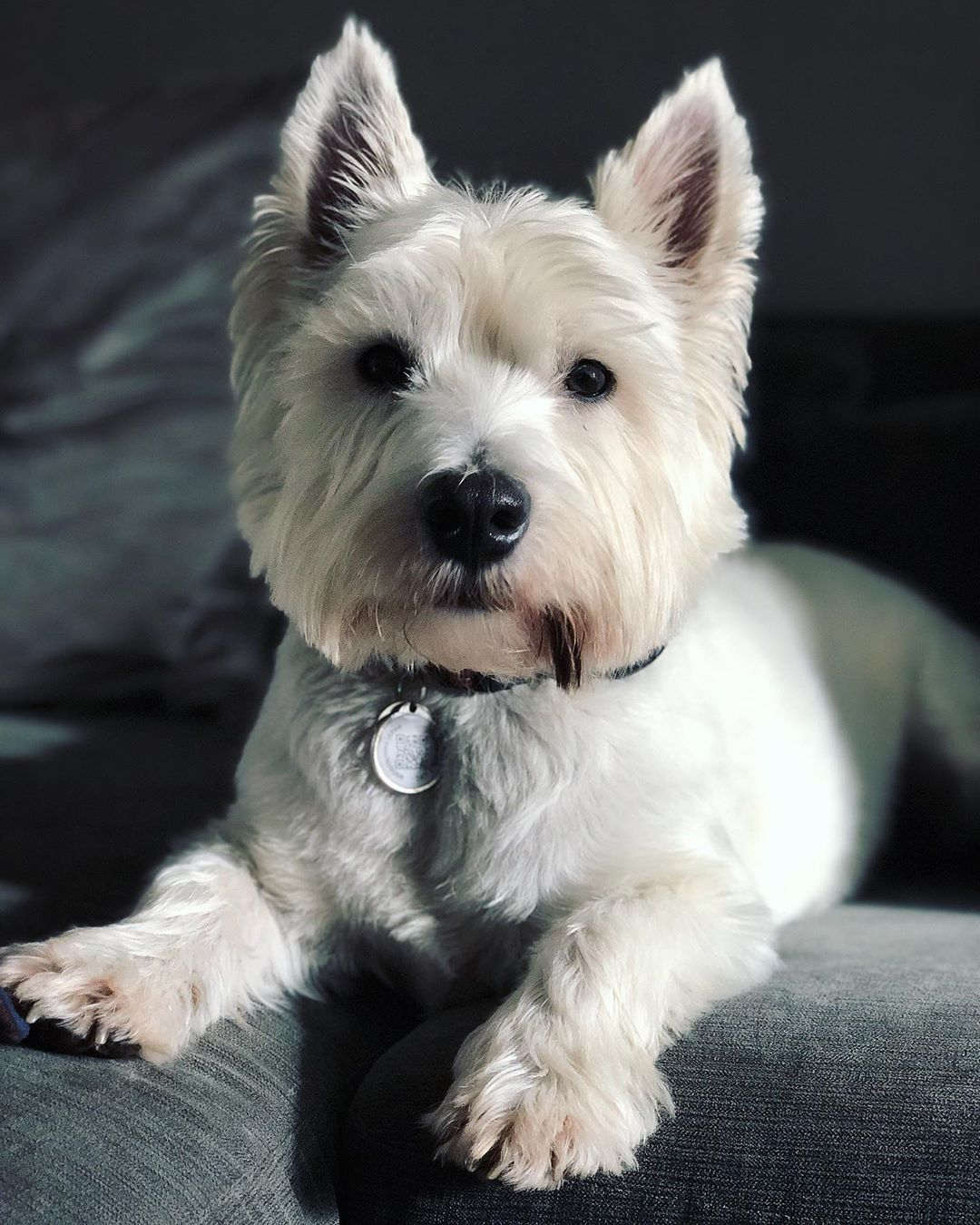 West Highland White Terrier Westie Puppies Chihuahua Dogs Facts