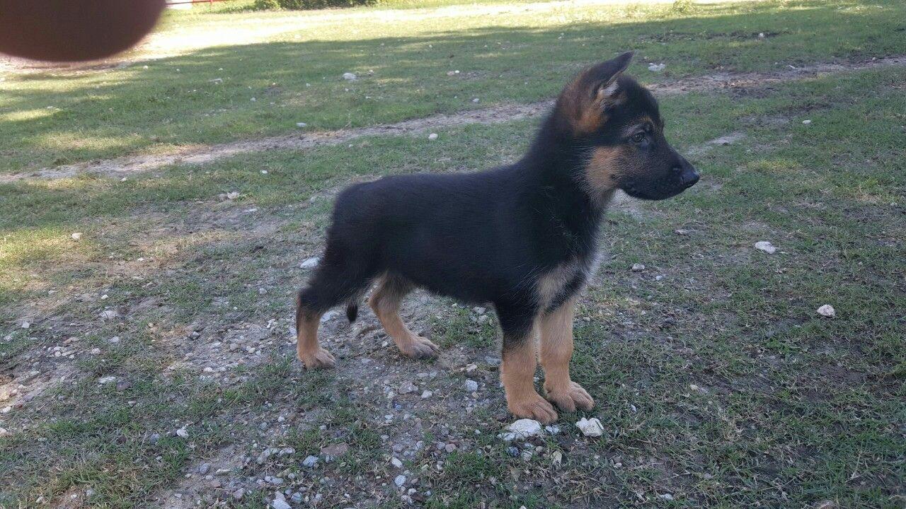 Liberty texas german shepherd puppies texas pup