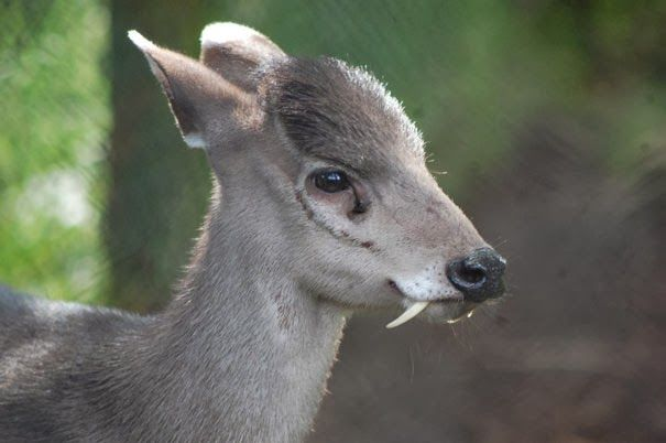Tufted Deer - 22 Bizzarre Animals You Probably Didn't Know Exist   Vampire Deer!!! lol