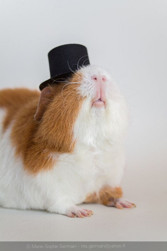 Guinea pig in a top hat. You're welcome.