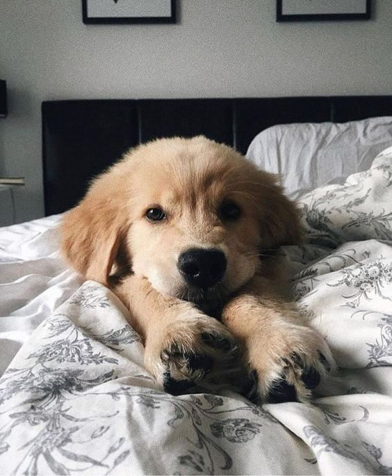 Golden Retriever Puppies Cute Pictures And Facts In 2020 Golden Retriever Puppies Dog Rules