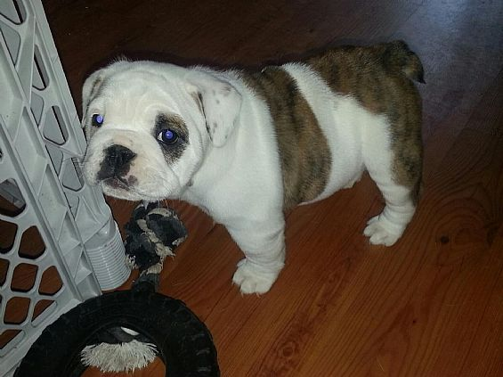 Miniature Bulldog Pet Dog Puppies For Sale In Ct Want Ad Digest Classified Ads Miniature Bulldog Cute Dogs Dog Pictures