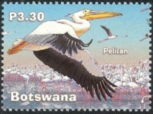 Rosy Pelican (Pelecanus onocrotalus)