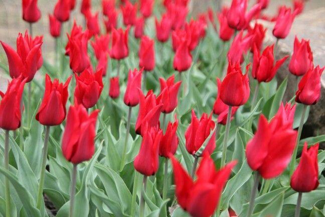 Тюльпаны . Tulips.