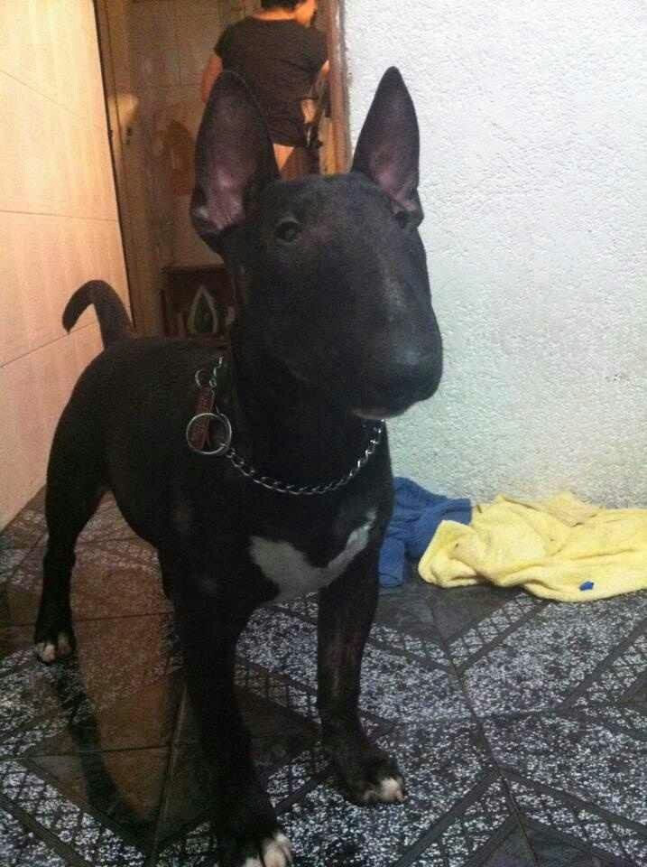 Handsome Mini Bull Terriers Bull Terrier Black Bull Terrier