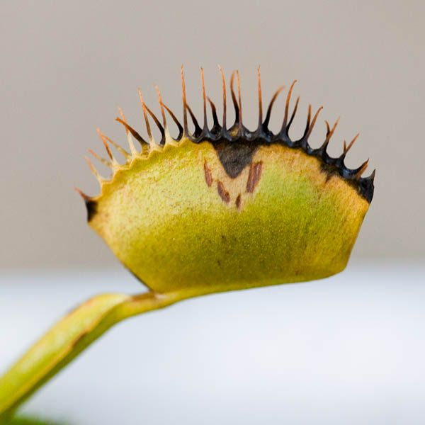 The Venus Fly Trap Food Guide Feed Those Hungry Mouths The Carnivore Girl Venus Fly Trap Fly Traps Venus Fly Trap Care