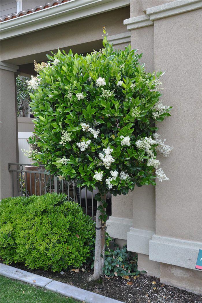 Picture of Live Texas Privet (patio) aka Ligustrum jap. 'Texanum' std Plant Fit 5 Gallon Pot