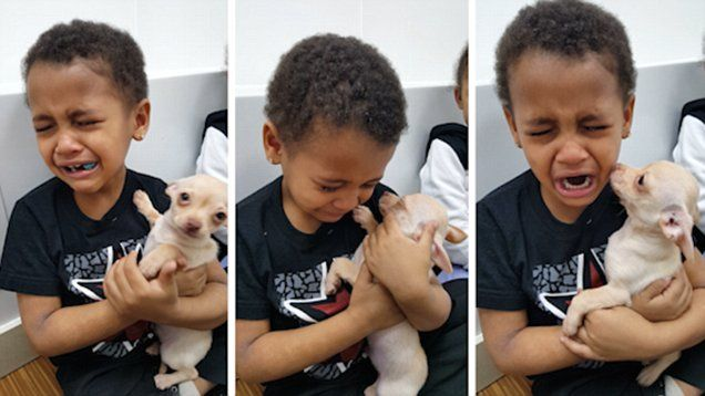 Little Boy Cries Over Chihuahua Puppy Because It S So Cute