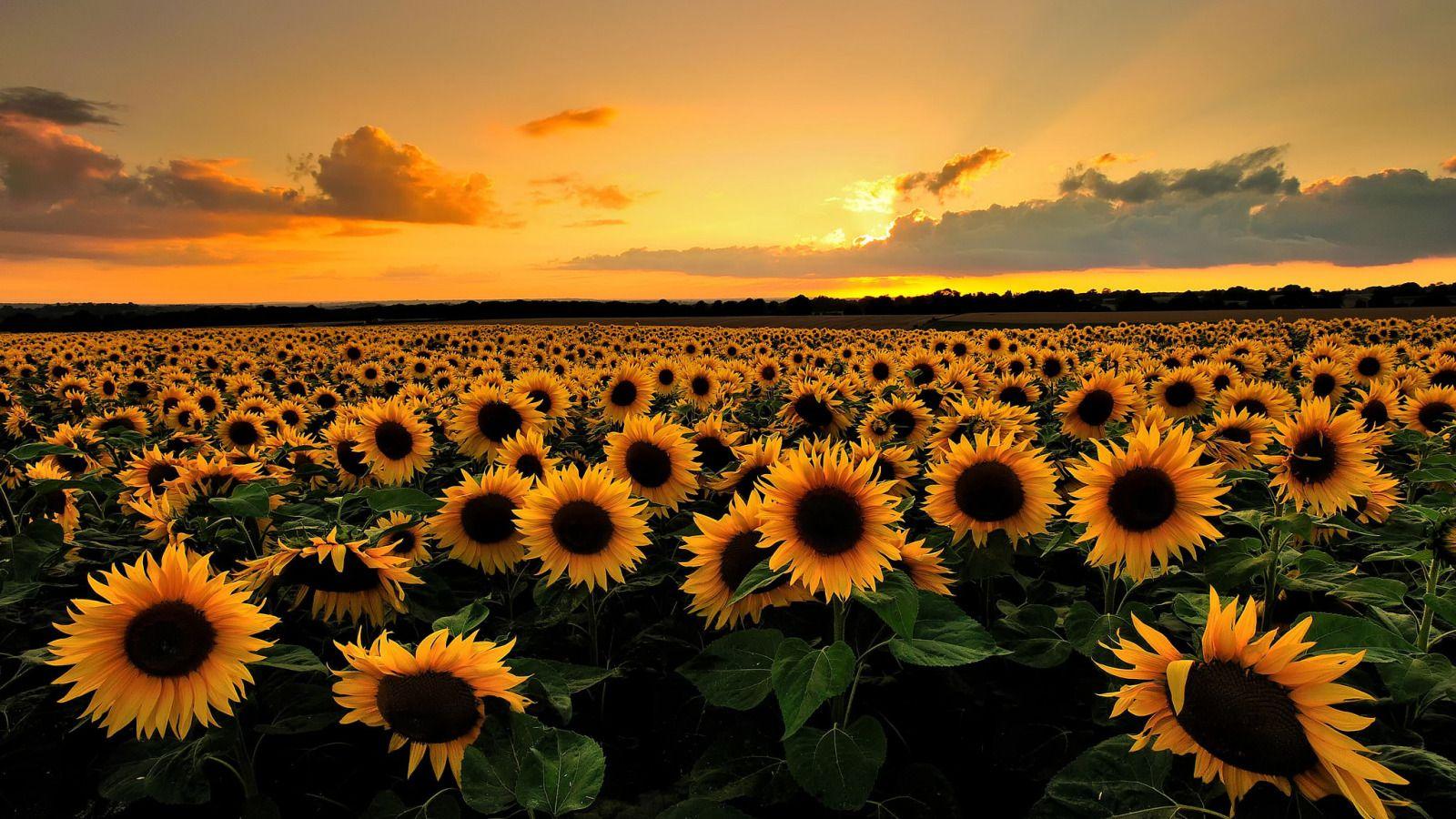 Скачать обои поле, лето, облака, подсолнухи, закат, цветы ...