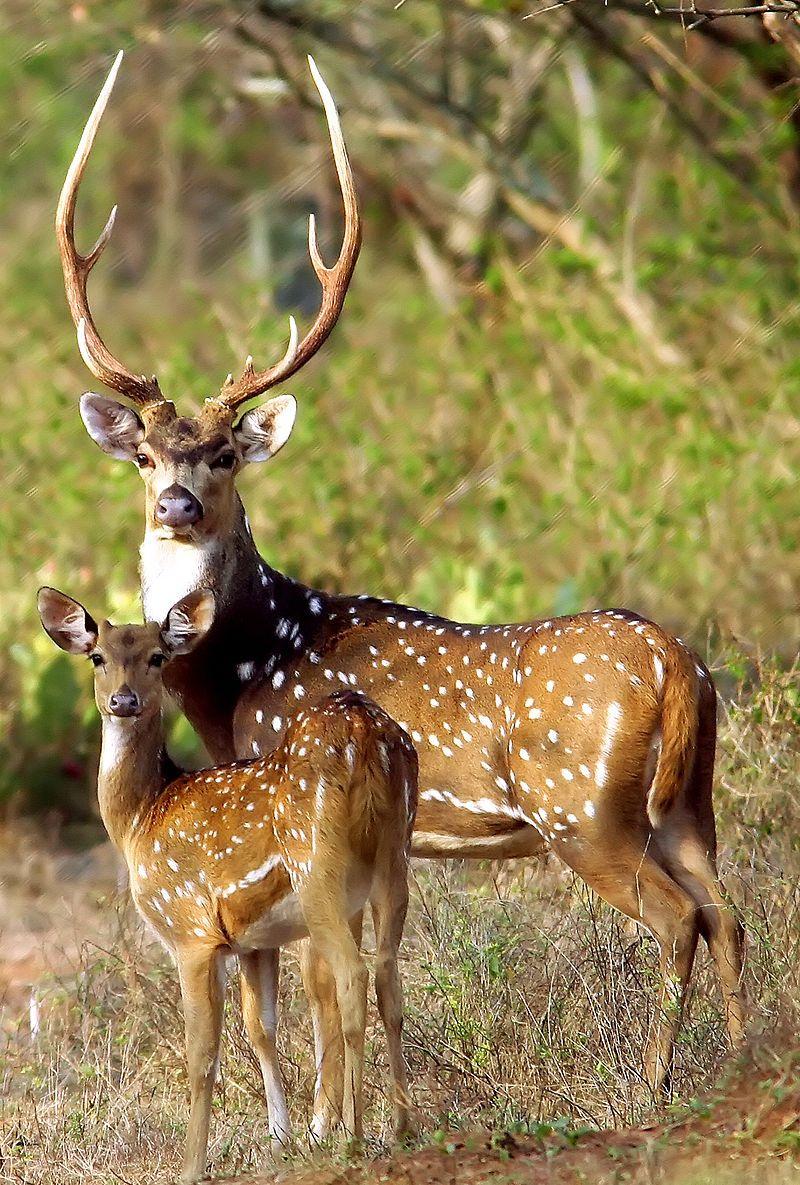 chital, cheetal, axis deer (Axis axis), India   Deer, moose ...