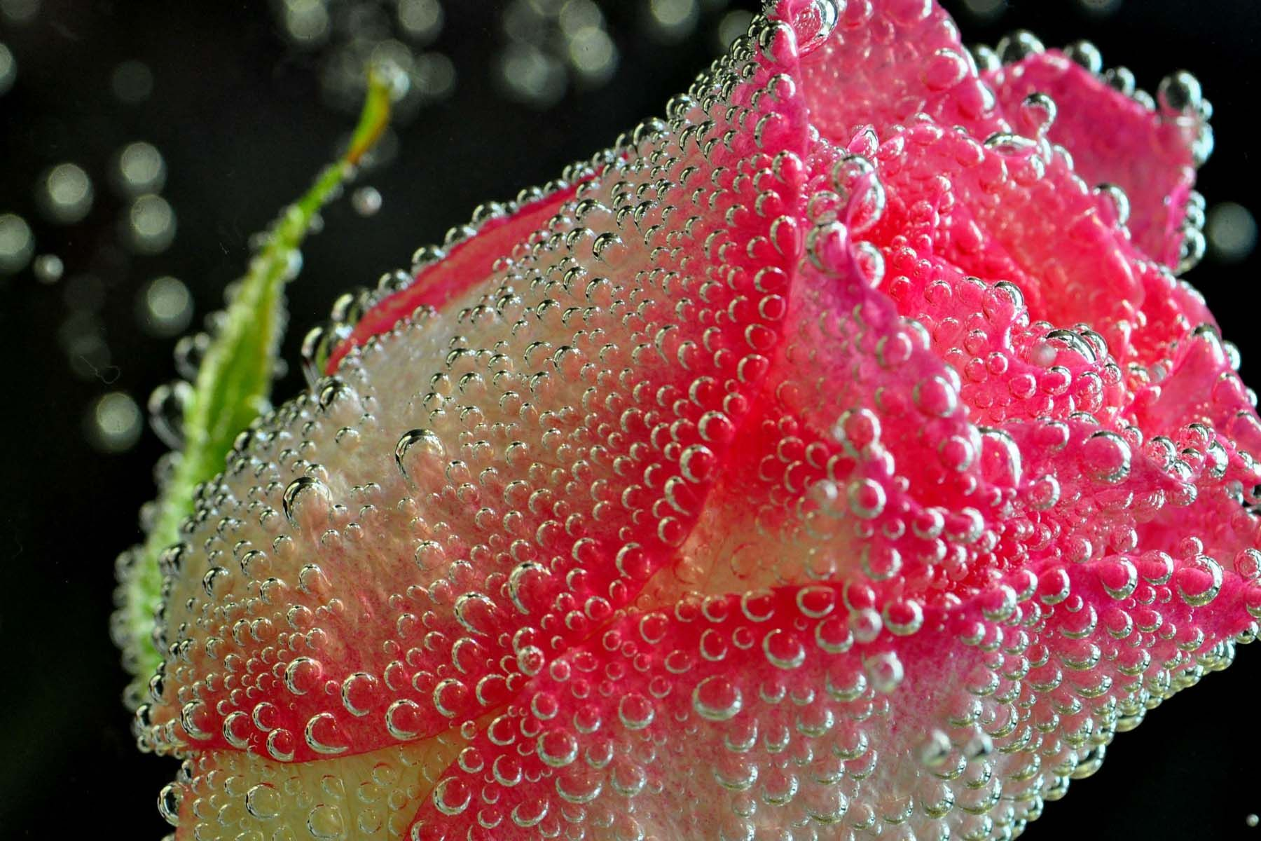 Fine art photography rose and bubbles 2 a beautiful pink and fine art photography rose and bubbles 2 a beautiful pink and white rose flower with a black background the background makes this water submerged izmirmasajfo