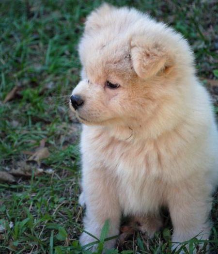 Kamikaze The Akita Mix Akita Puppies Puppies Akita Puppies For