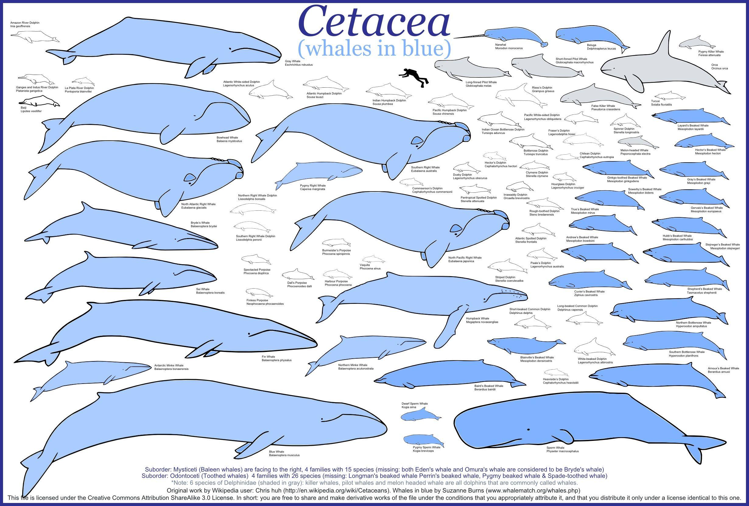 humpback whales migration route - Google Search | School stuff ...