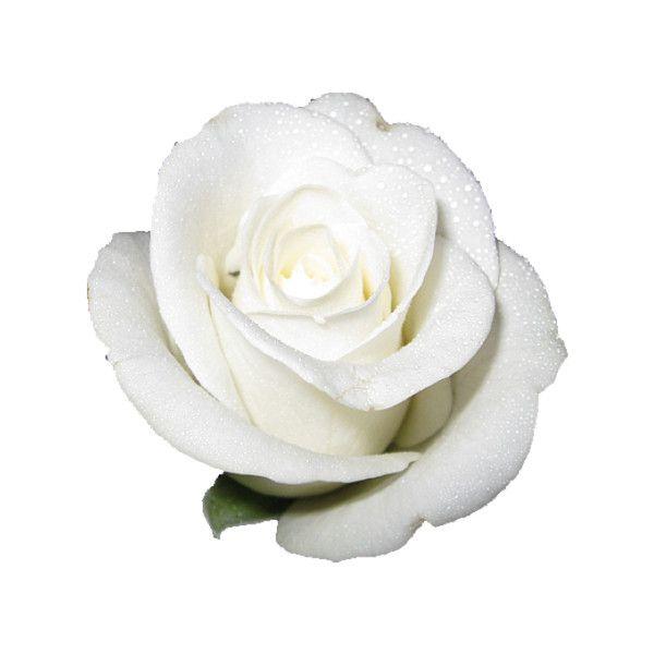 White Rose Tumblr White Flower Png White Rose Png Rose Tumblr