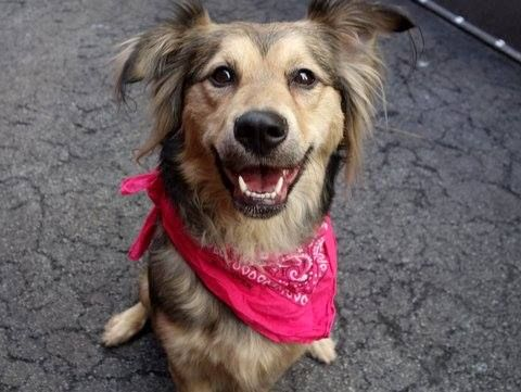 URGENT - Manhattan Center    TIE a/k/a QUIDDITCH - A0996055    FEMALE, BROWN / BLACK, COLLIE SMOOTH MIX, 2 yrs  STRAY - STRAY WAIT, NO HOLD  Reason STRAY   Intake condition NONE Intake Date 04/08/2014, From NY 10017, DueOut Date 04/11/2014  https://www.facebook.com/photo.php?fbid=784650358214512&set=a.617938651552351.1073741868.152876678058553&type=3&permPage=1