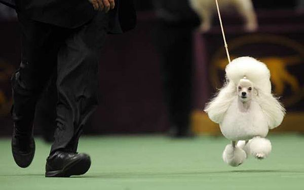 Walker The Toy Poodle Won Westminster S Toy Group Dog Show