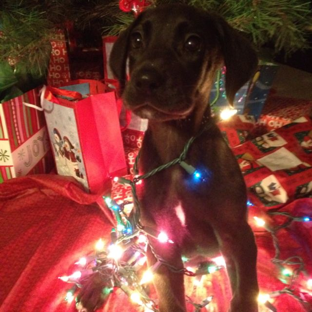 Merry Christmas From Leo The Great Dane Great Dane Puppy