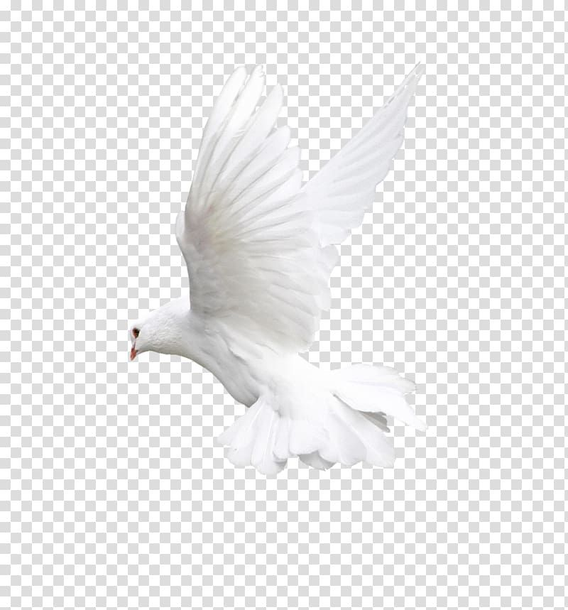 Dove Png Image In 2020 Dove Images Love Background Images Light Background Images