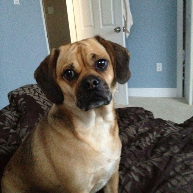 Puggle Pug Beagle Dog Design Cute Puppies