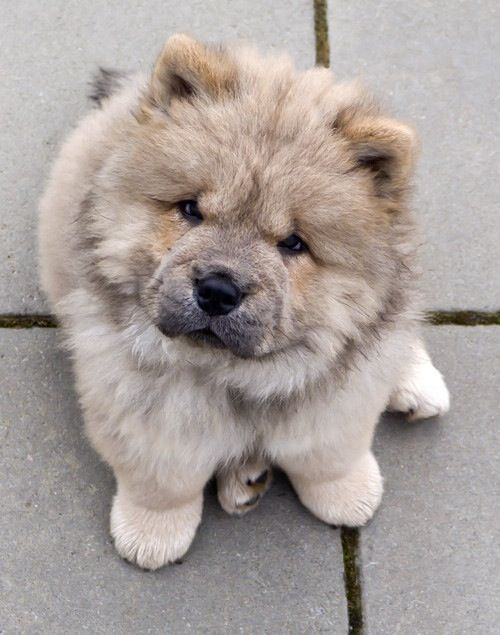 Cute chow chow pup