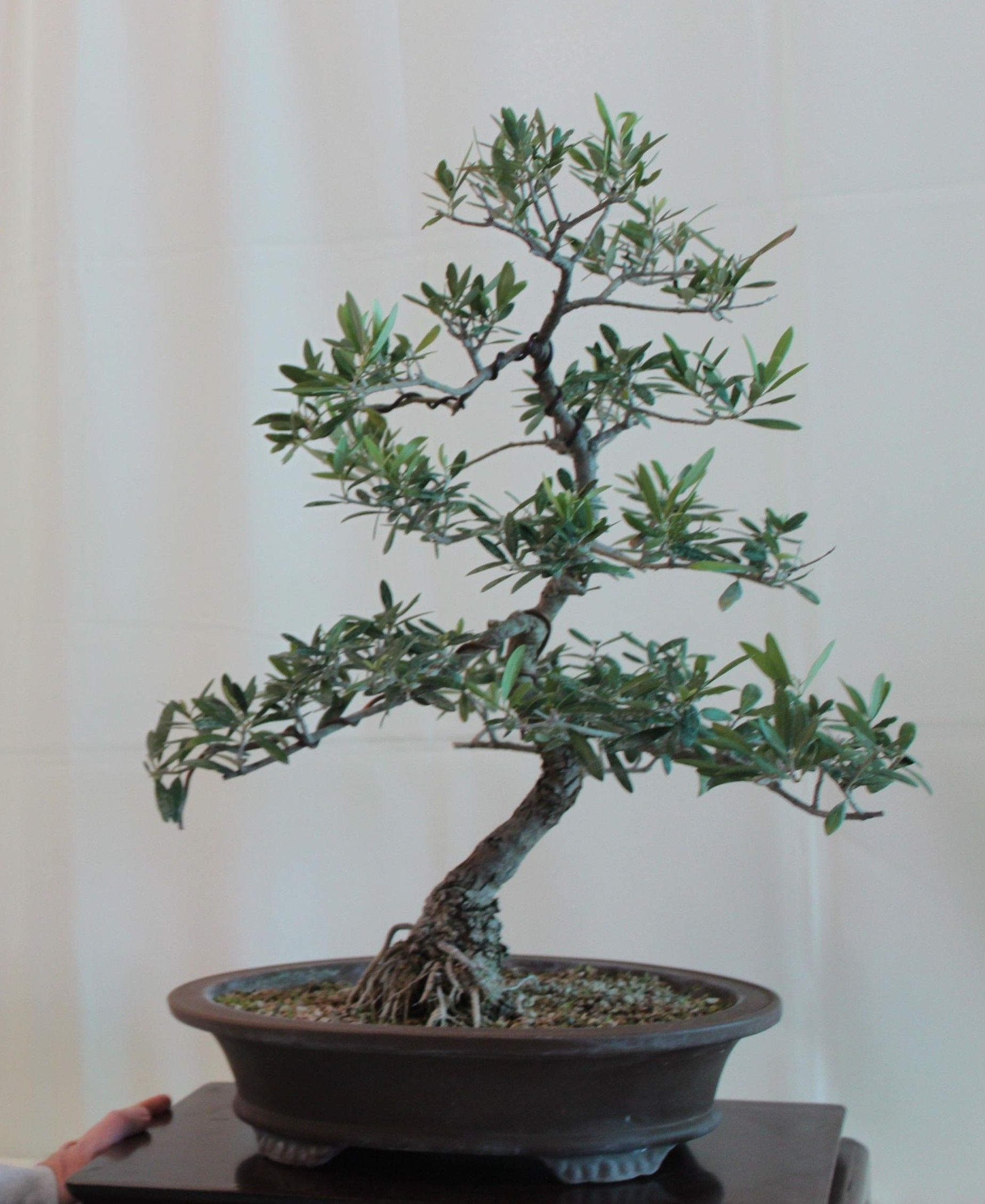Olive Bonsai Kuromatsubonsai Com Bonsai Tree Indoor Bonsai Olive Tree Bonsai