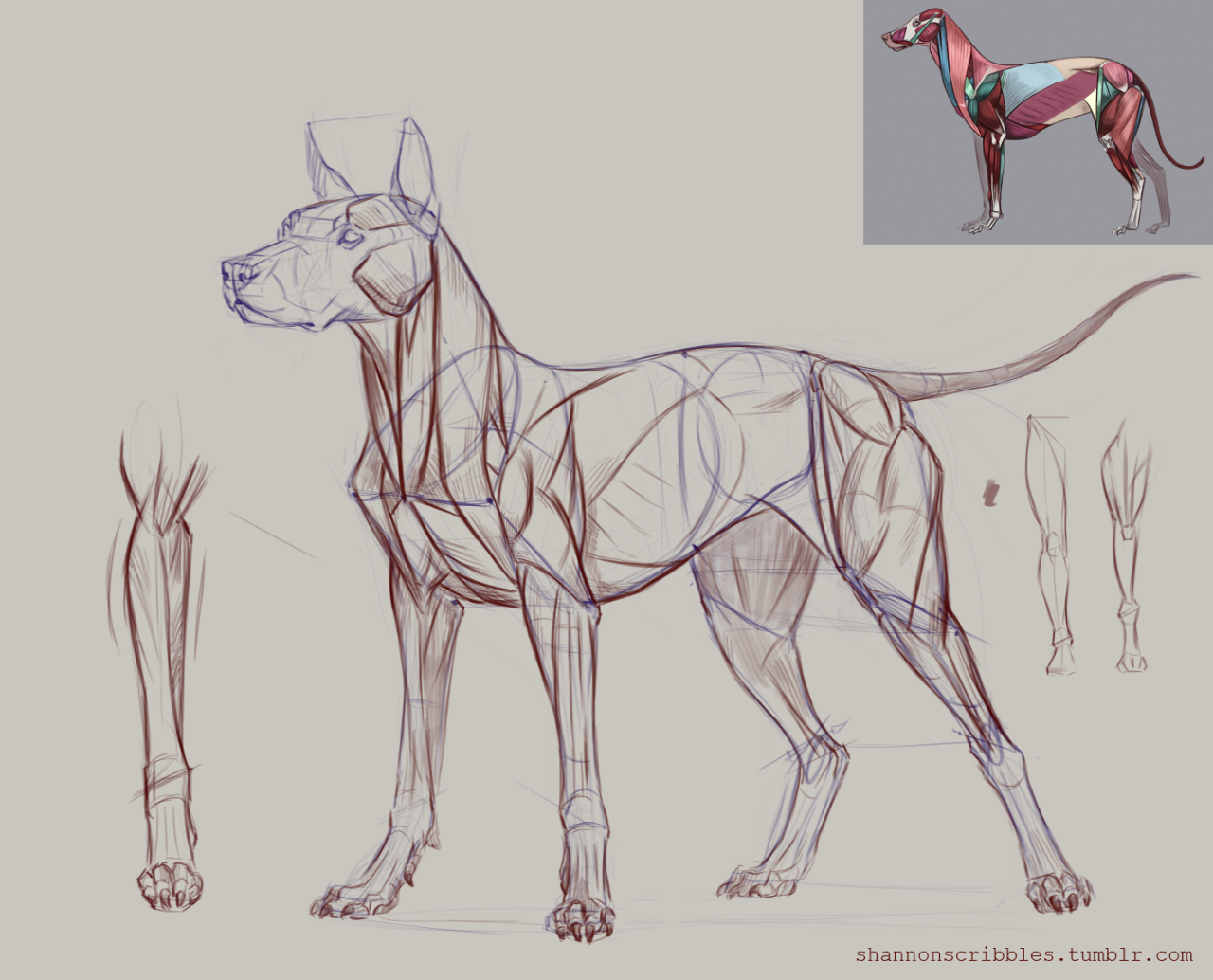 Dog muscle demo for Week 5!   character design   Pinterest   Muscles ...