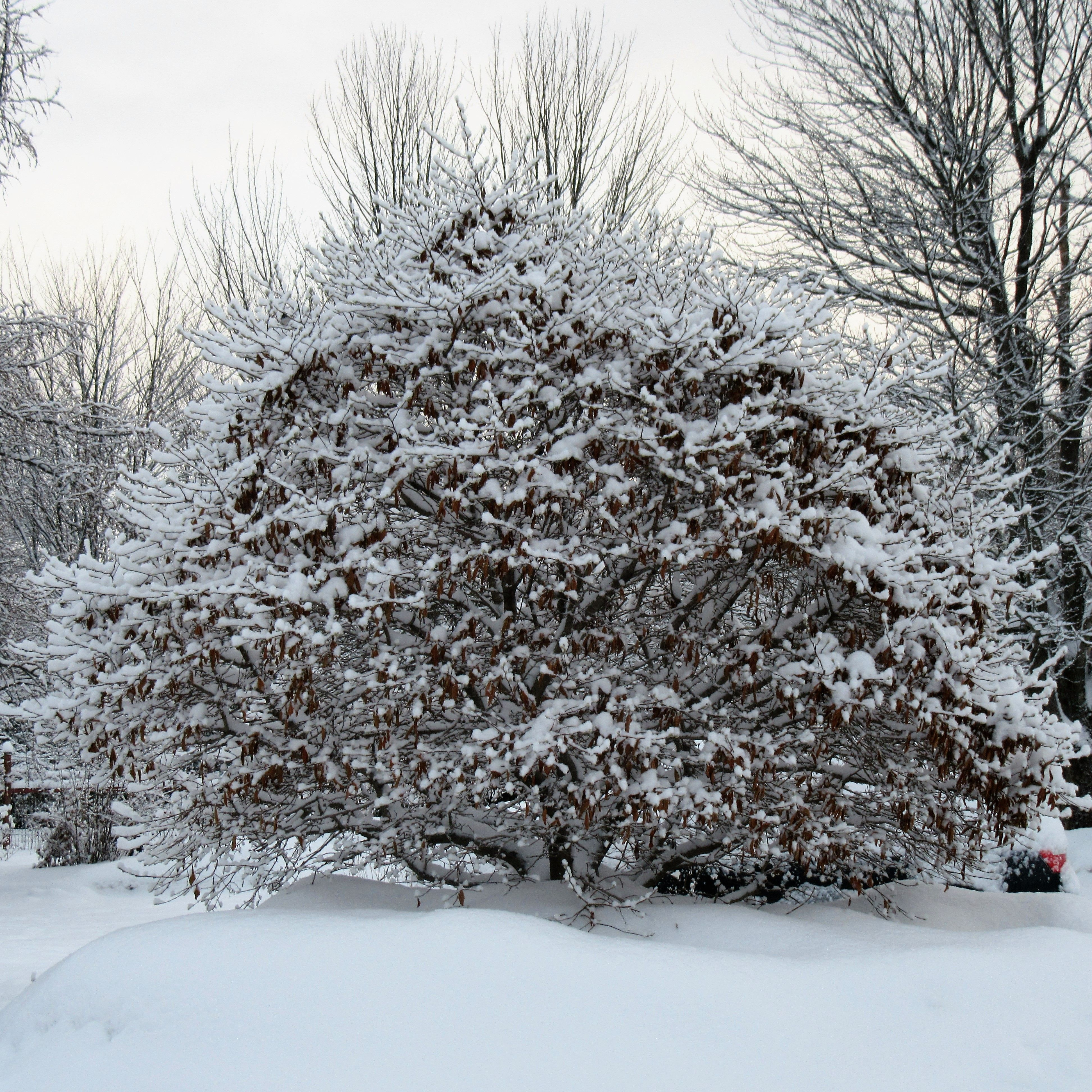 Magnolia in the winter & Magnolia en hiver