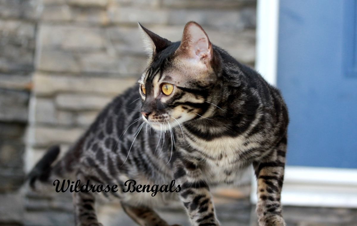 Charcoal Brown Bengal Cat Kfwkqdwl | Fantastic Felines ...
