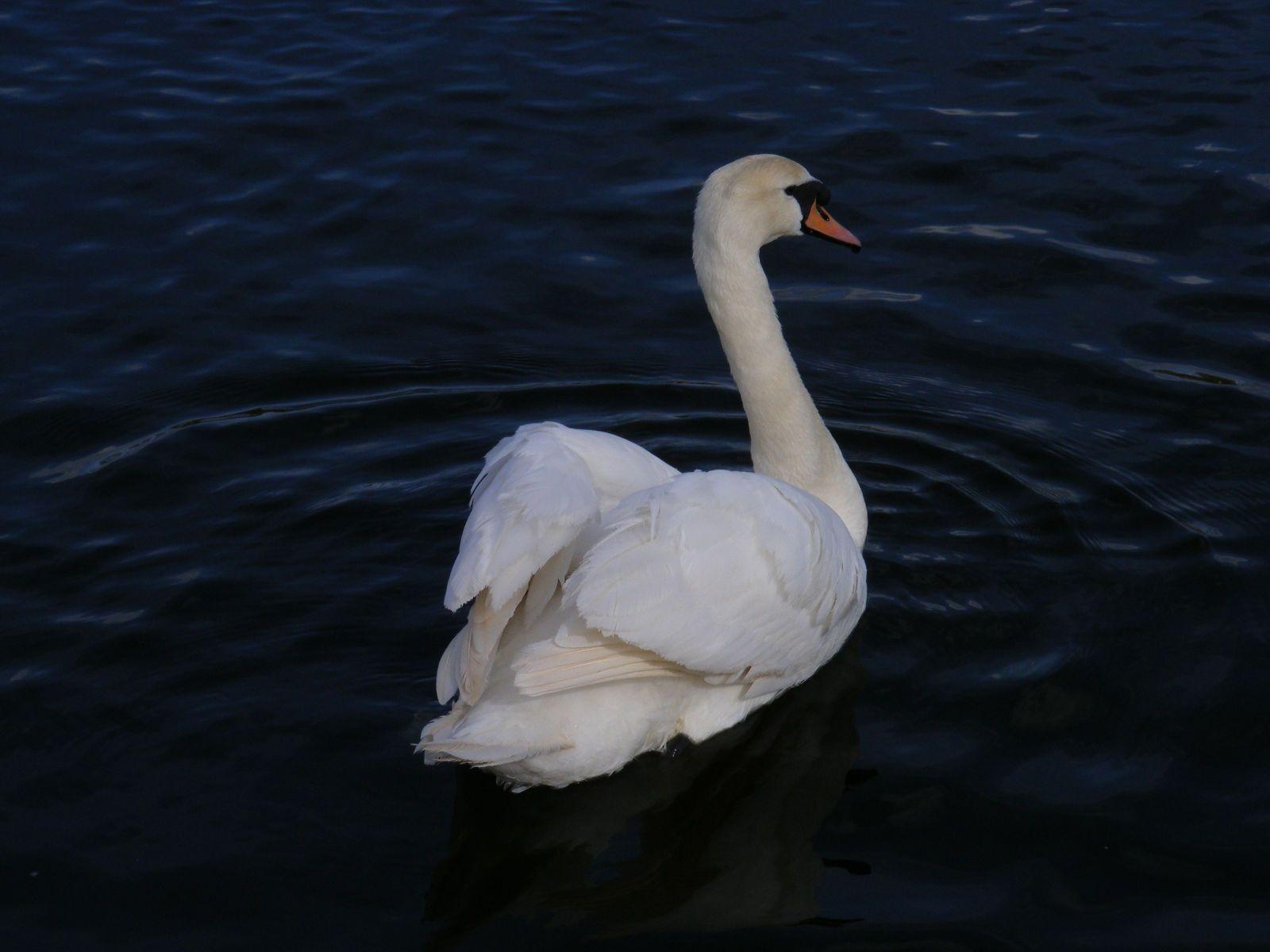 I want a swan!!
