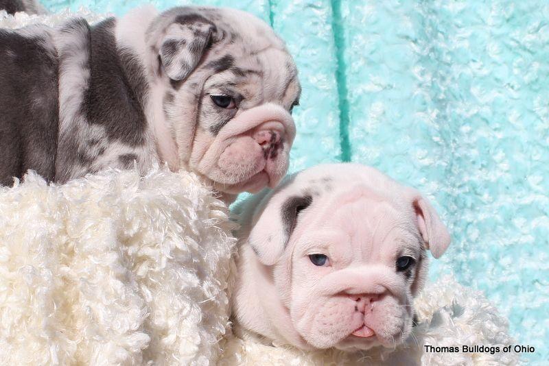 Rare Color English Bulldog Puppies We Offer Quality Blue English Bulldogs Black English Bul English Bulldog For Sale English Bulldog Puppies Bulldog Puppies